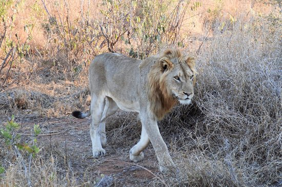 Lukimbi Safari Lodge: King of the beasts.....shot without telephoto...he was that close!