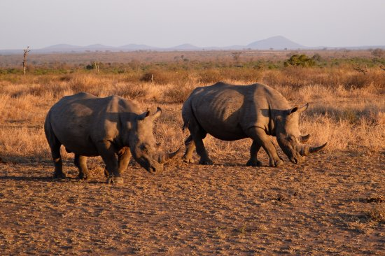 Lukimbi Safari Lodge: White rhinos