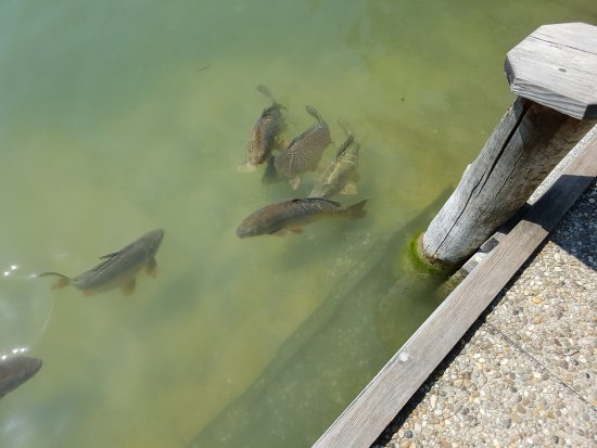 Sporthotel Igls : Some of the carp in Laner See (no fishing allowed)