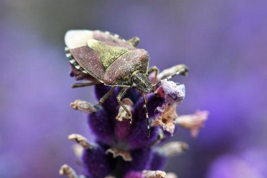 Foto de Lordington Lavender