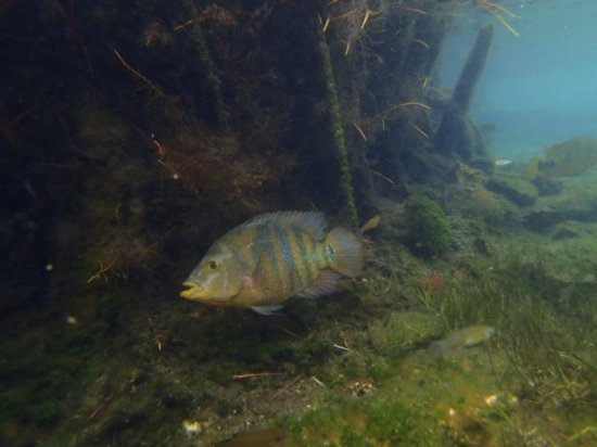 Maya Can Eco Tours : Colorful fish in freshwater