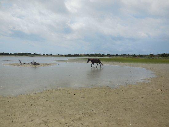 Beaufort, NC: Horses of Shakleford