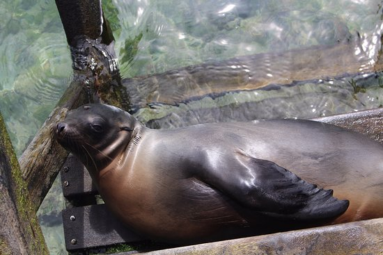Concha de Perla: sea lion resting in the ladder to enter in the sea