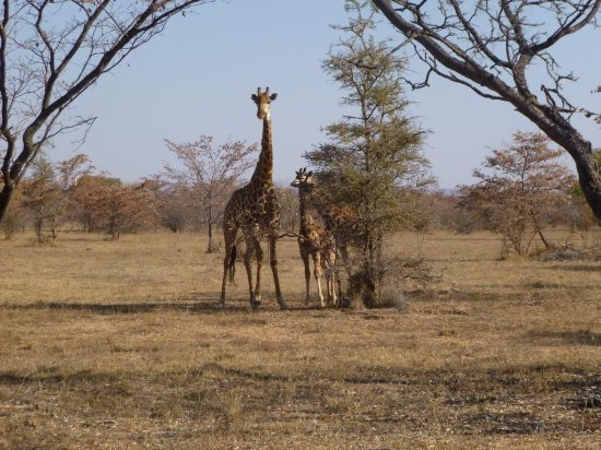 Bulge River, South Africa: Giraffe