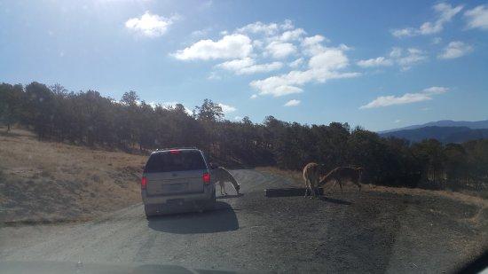 Winston, Oregón: 前方的車子被動物攔路了