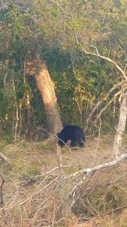 Wilpattu National Park: Sloth Bear