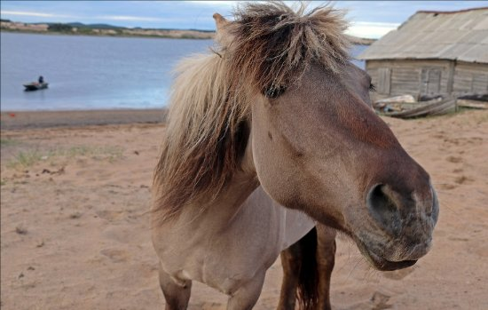 Kuzomen, Russia: Лошадь