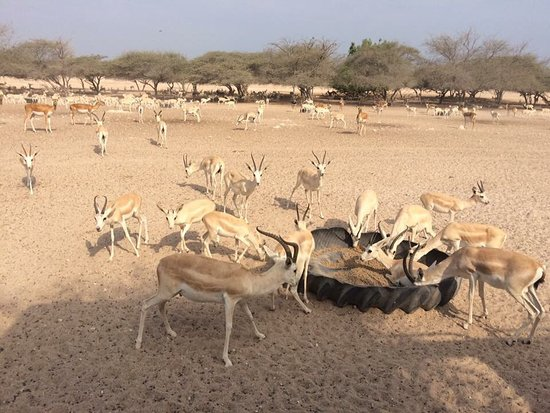Sir Bani Yas Island, United Arab Emirates: photo5.jpg