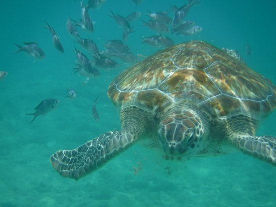 Хоултаун, Барбадос: Swimming with Turtles right off the beech