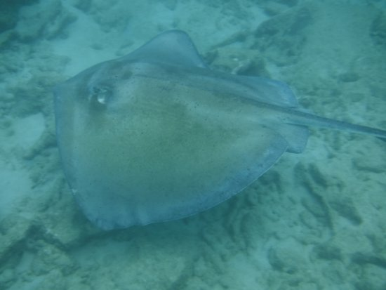Хоултаун, Барбадос: Swimming with Stingrays right off the beech