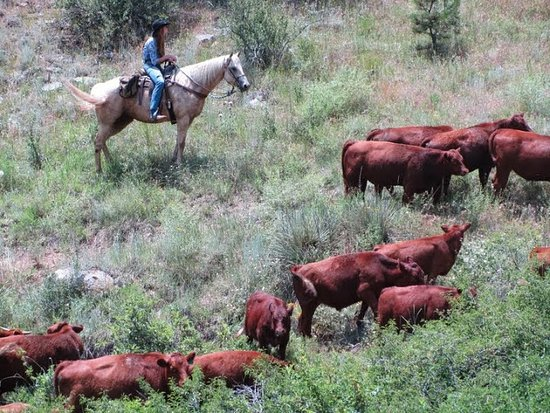 Loveland, CO: Cattle drives