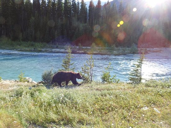 Kootenay National Park, Canada: Grizzy bear right off the road