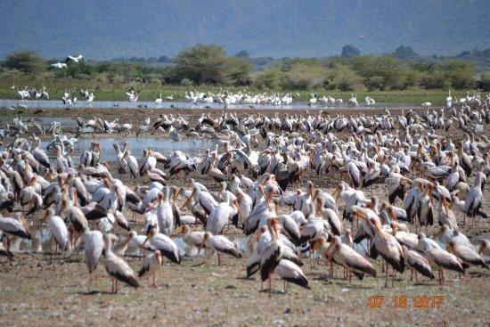 Национальный парк озеро Маньяра, Танзания: Storks, pelicans