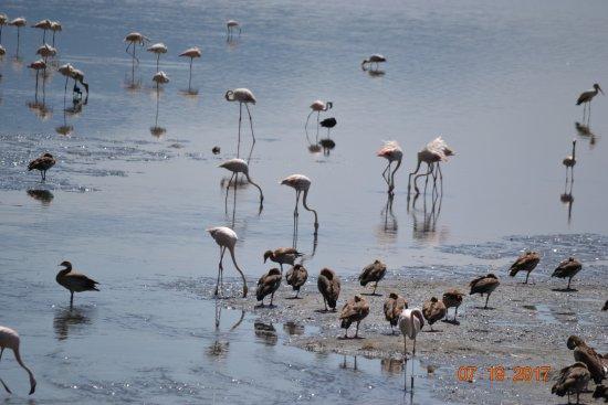 Национальный парк озеро Маньяра, Танзания: Pelicans, Egyptian geese