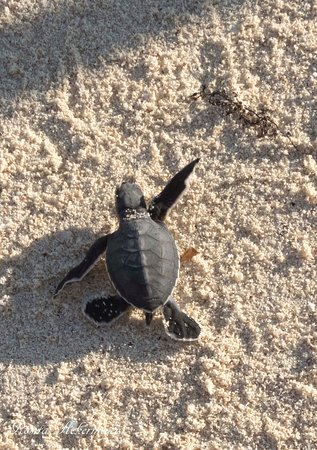 ‪‪Pole Pole Bungalows‬: Green turtle just born running to the ocean‬