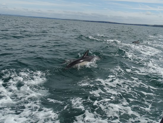Marloes, UK : Dolphins alongside the boat