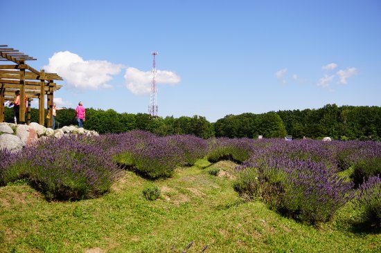 Lavender Labyrinth Picture Of Cherry Point Farm And