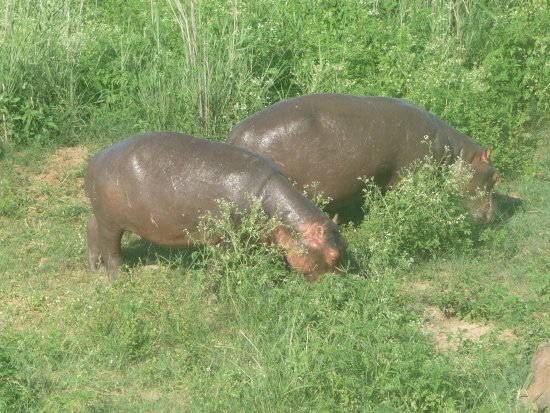 Crocodile Bridge Rest Camp: Great end to the day, watching Hippo having a lunch mid afternoon