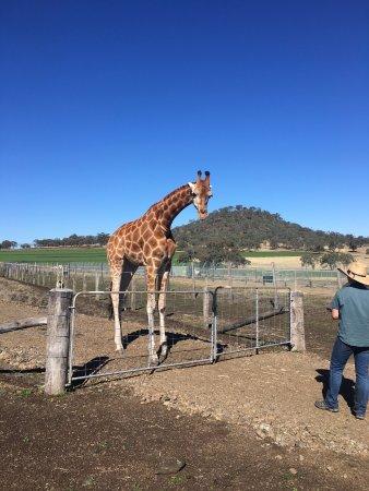 Gatton, Australien: Giraffes