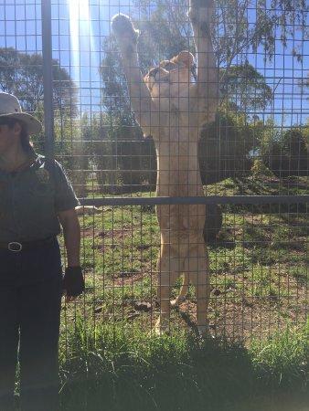Gatton, Australien: Lions