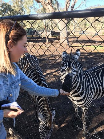 Gatton, Australien: Zebra feeding