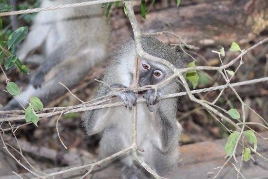 Monkeyland Primate Sanctuary: Muy curiosos y asombrado el pequeño
