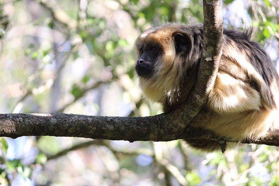 Monkeyland Primate Sanctuary: También descansando