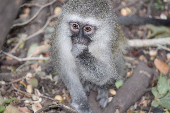 Monkeyland Primate Sanctuary: Mirando curioso