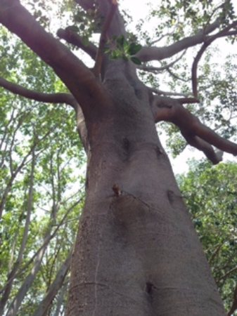 Riverside, CA: Big Trees
