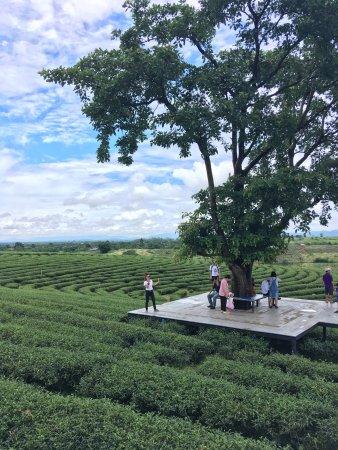 Choui Fong Tea Plantation: photo1.jpg