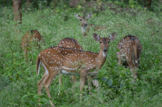 Kabini Wildlife Safari - Day Tour: Spotted Deer