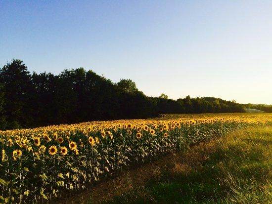 Mirande, Fransa: Sunflower fields