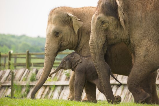 Dunstable, UK: ZSL Whipsnade Zoo is home to a herd of Asian elephants