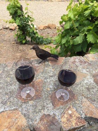 Viansa Winery and Italian Marketplace: Super aggressive bird