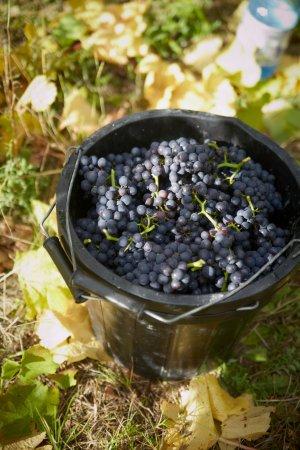 Tenterden, UK: Chapel Down Harvest