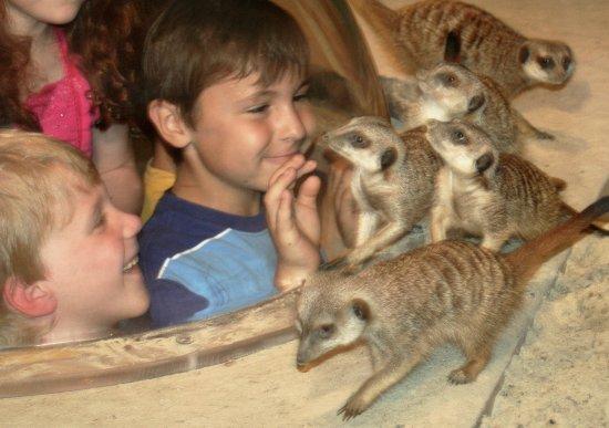 The Maritime Aquarium : Meerkats