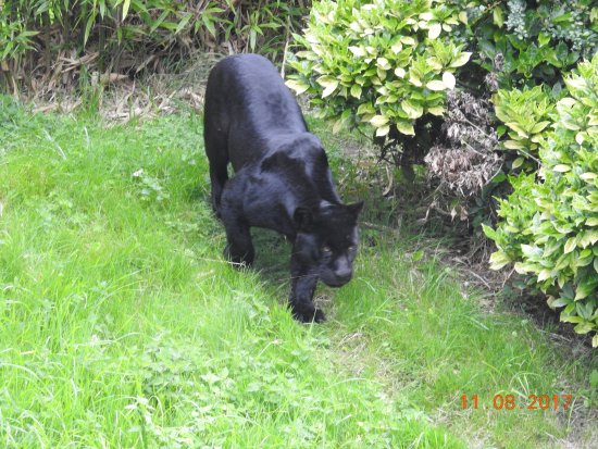 Panther Picture Of Chester Zoo Chester Tripadvisor