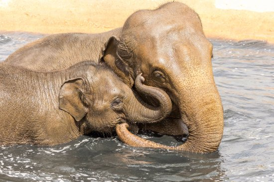 Woburn, UK: Asian elephants Tarli and Chandrika enjoying a dip in their wallow