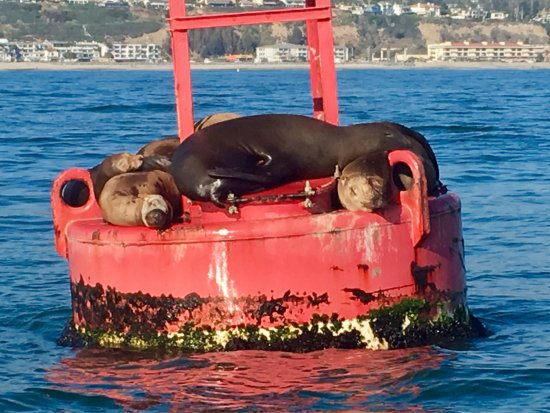 Right Outside of DANA POINT HARBOR, ❤️the Sea Lions on the Buoys!