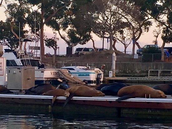 DANA POINT HARBOR, BABY so many Sea Lions on the Dock at 🌅!