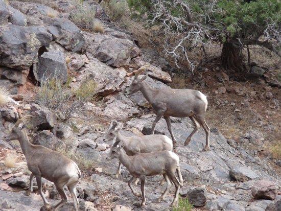 Fruita, CO: LongHorn Sheep
