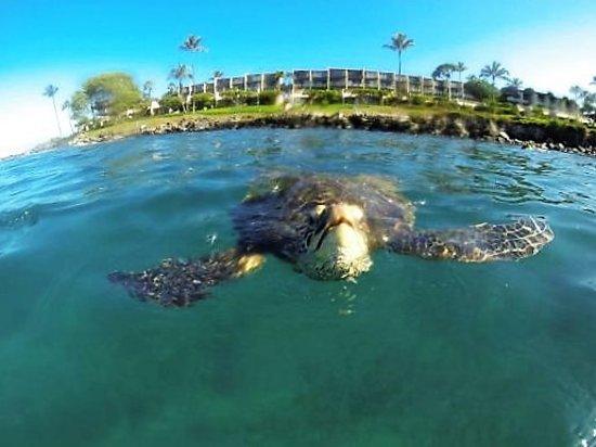 Napili Point Resort: Honu (turtles) in Honokeana Bay, just steps from your door!