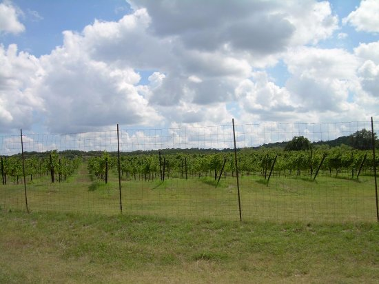 Spicewood, TX: Another vineyard view