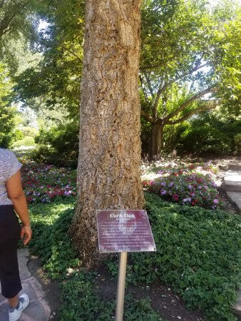 Healdsburg, CA: Cork tree