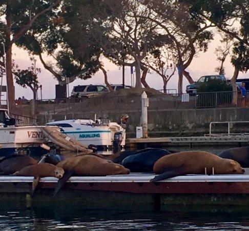 DANA POINT HARBOR, CA! So many Sea Lions on the dock at 🌅!