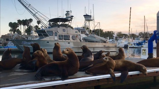 Дана-Пойнт, Калифорния: DANA POINT HARBOR, CA, So many Sea Lions on the dock at 🌅!  Baby Sea Lions too!