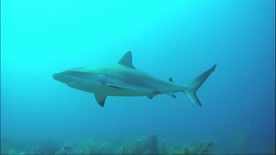 Dive St. Kitts : Reefshark at one of the divesites
