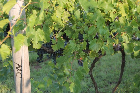 Whispering Pines Bed and Breakfast : Pick your own grapes.