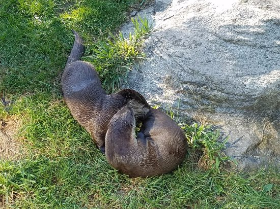 Grandfather Mountain: otters playing
