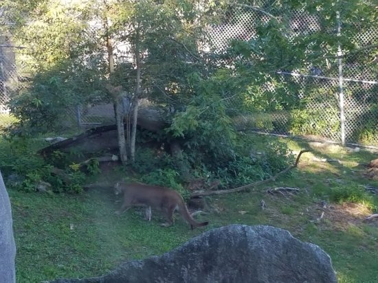 Grandfather Mountain : cougar didn't want to be photographed